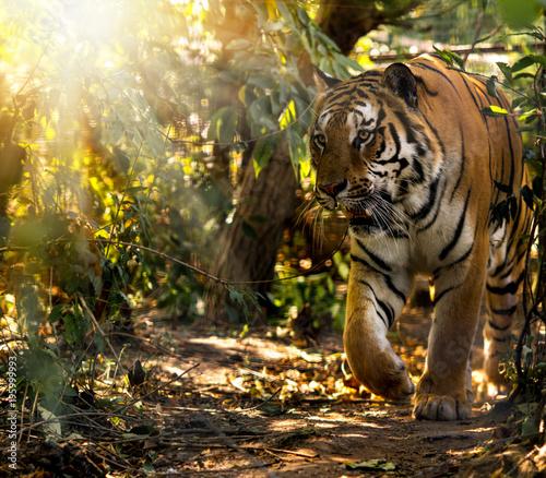 Aluminium Tijger Wild Siberian tiger on nature