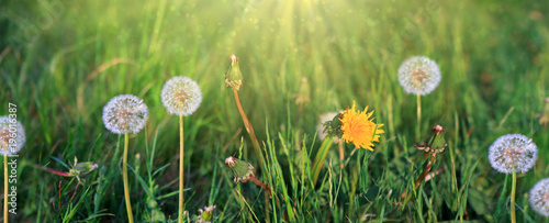 Dandelions on green background and sunlight.
