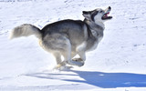 the wolf swiftly runs across the snow-covered plain - 196019964