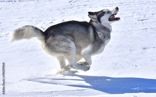 Aluminium Wolf the wolf swiftly runs across the snow-covered plain