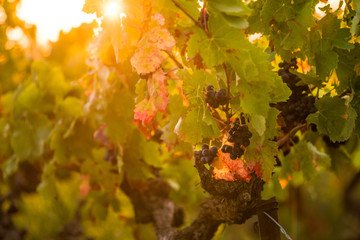 bunch of red grapes for red wine in vineyard sunrise before harvest