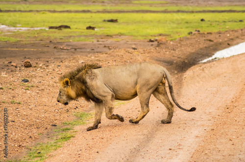 Fotobehang Lion Old lion walking in the savannah of Amboseli Park in Kenya