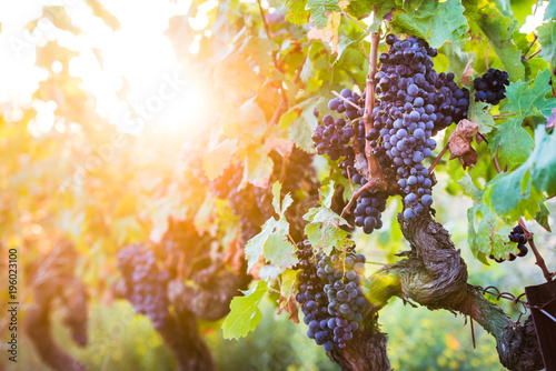 Foto op Canvas Wijngaard bunch of red grapes for red wine in vineyard before harvest
