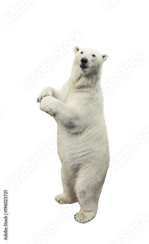 Canvas Ijsbeer Standing polar bear. Isolated over white background