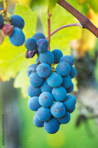 Foto op Canvas Wijngaard View of vineyard row with bunches of ripe red wine grapes