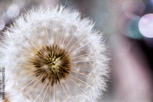 Aluminium Paardenbloemen dandelion flower with seeds ball close up in purble background vertical view