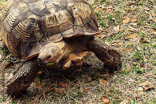 Gopher tortoise (Gopherus polyphemus Poster