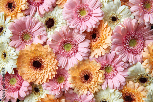 Fotobehang Gerbera Natural floral background of white, pink, orange gerbera. Flower concept