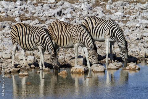 A small herd of zebra drinking in Okaukejo waterhole in Etosha National Park in Namibia
