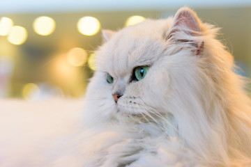 White Persian cats with lighting