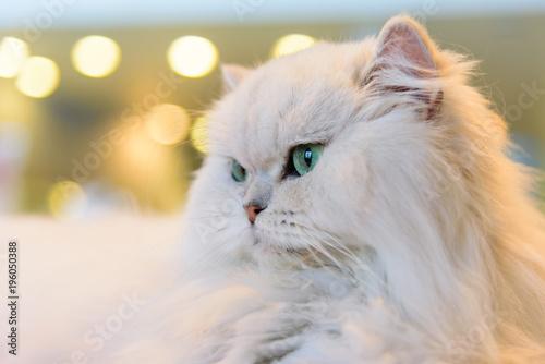 Fotobehang Kat White Persian cats with lighting