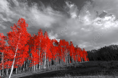 Aluminium Betoverde Bos Red trees in surreal black and white landscape