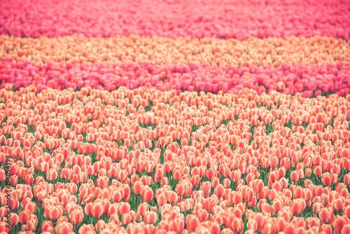 Deurstickers Koraal Multicolored tulips field in the Netherlands