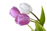 close on pink and white  tulips isolated on white background