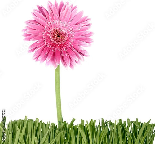 Pink Gerbera Daisy on Grass