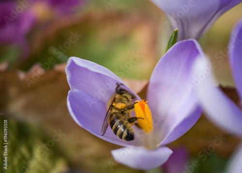 Fotobehang Bee Honey bee collecting nectar from crocus, macro photo