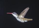 Violet-capped Hummingbird (Goldmania violiceps) hovering, Ajijic, Jalisco, Mexico - 196095130