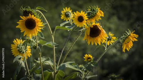 Small sunflowers starting to wilt in Maine