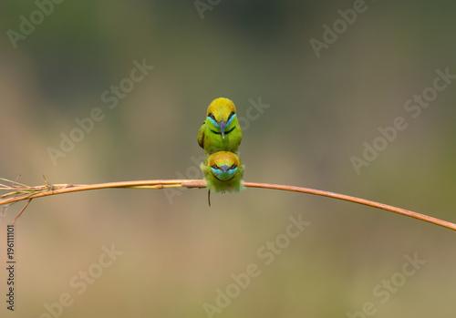 Fototapeta Green Bee-Eater (Merops Orientalis)