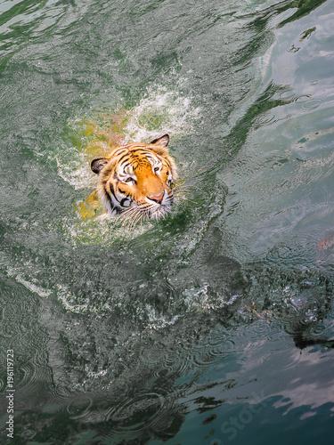 Aluminium Tijger Head of Sumartran tiger while swimming in river.