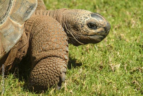 Aluminium Schildpad Head and shoulders image of Giant Tortoise (Geochelone)