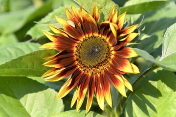 Sonnenblume (Helianthus annuus), blühend, Baden-Württemberg, Deutschland, Europa
