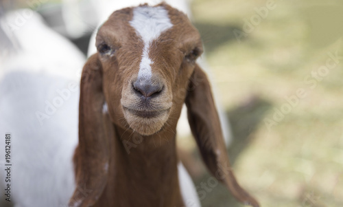 Fotobehang Natuur mouth of baby goat pet in cage