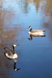 Love Ducks 01 - 196126198