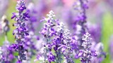 HD super slow beautiful lavender flower bee background	 - 196127546