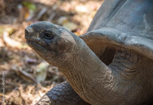 Aluminium Schildpad Seychelles giant tortoise