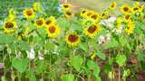 Sunflower natural background. Sunflower blooming