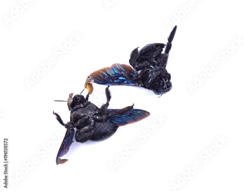Fotobehang Bee carpenter bee Xylocopa pubescens on a white background