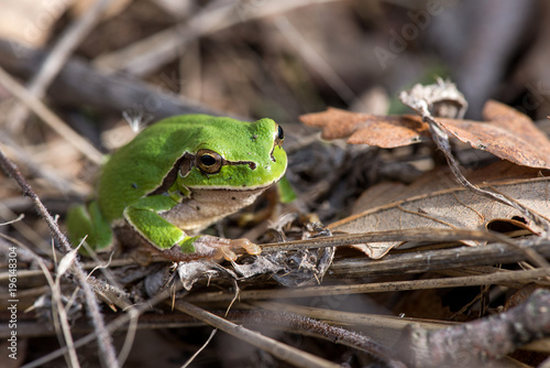 Fotobehang Kikker Tree frog (Hyla arborea) syn. (Rana arborea), European tree frog on the forest ground, in natural environment, natural habitat