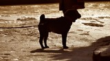 silhouette fighting dog dangerous dog tied to a tree leash. winter fighting dog. the problem of fighting dogs outdoors - 196149995