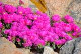 pourpier fleurs de corse - 196152578