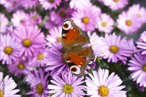 Fotobehang Vlinder schmetterling blüten frühling