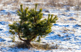 Young pine in the winter at dawn - 196162935