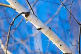 Trunk of a birch against a blue sky