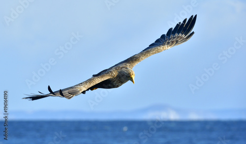 Fotobehang Natuur White-tailed eagle in flight, fishing. Adult white-tailed eagle (Haliaeetus albicilla), also known as the ern, erne, gray eagle, Eurasian sea eagle and white-tailed sea-eagle