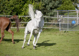 white arabian horse jumps on pasture - 196166169