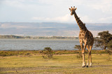 Isolated giraffe in a national park in Kenya, Africa. - 196172362