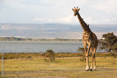 Isolated giraffe in a national park in Kenya, Africa.