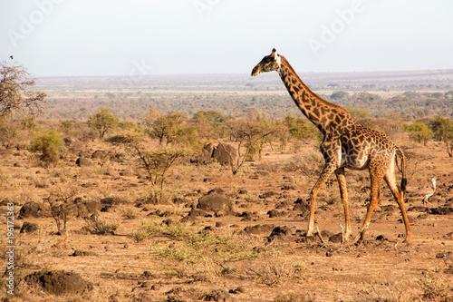 Fototapeta Isolated giraffe in a national park in Kenya, Africa.