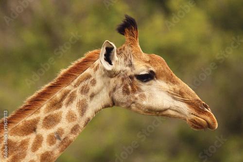Wall mural African Giraffes in the wild
