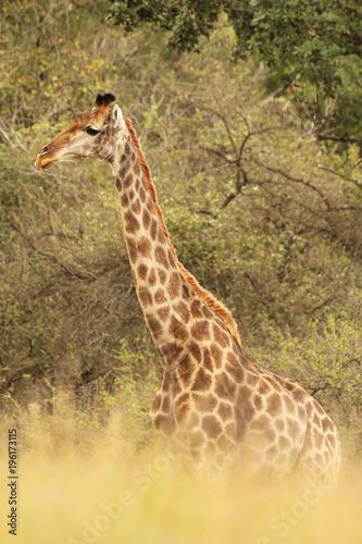 Fototapeta African Giraffes in the wild