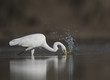 The Great White Egret hunting