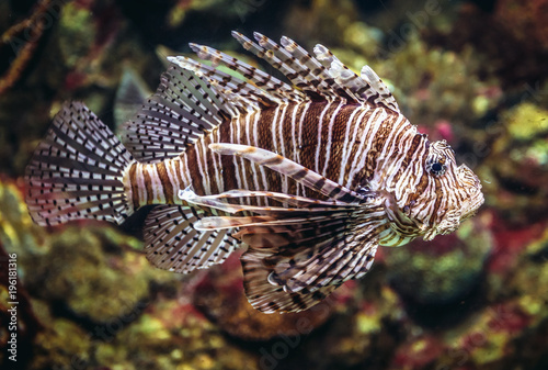 Fotobehang Barcelona red lionfish swimming in a large aquarium