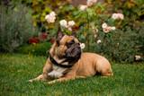 Beautiful French Bulldog in the autumn garden