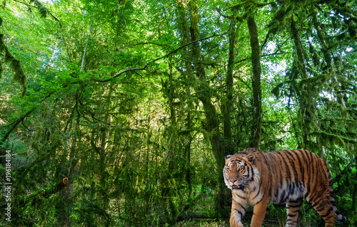 Aluminium Tijger large tiger in landscape with green forest