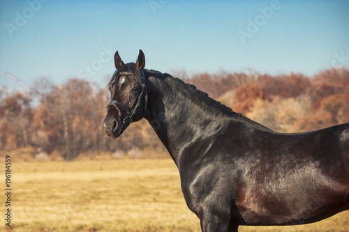 Exterior photo of a beautiful horse of the breed Ukrainian Horse